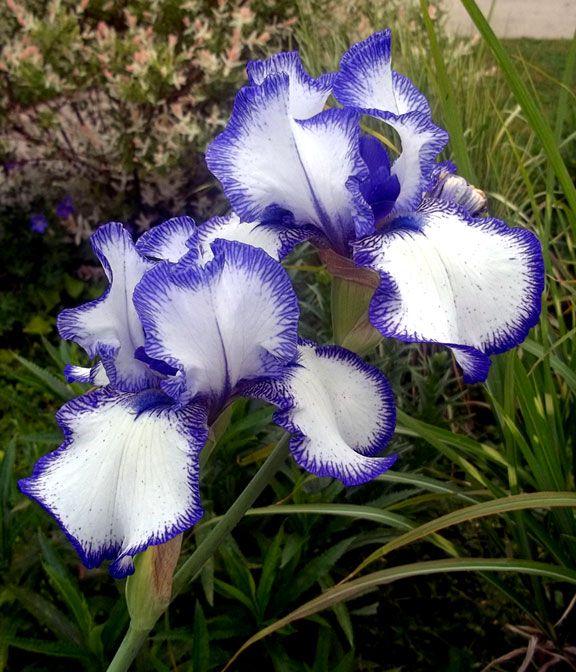 White Iris With Purple Edge It S Hard To Choose A Favorite Flower Tarahuttonsgarden White Iris Michigan Gardening Flowers