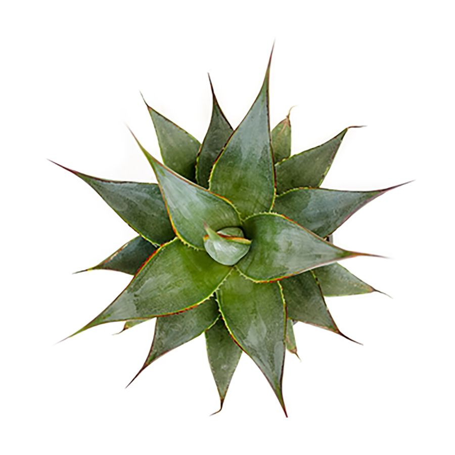 Monrovia 1 Gallon In Pot Blue Glow Agave Lowes Com Agave Blue Glow Perennials Winter Plants