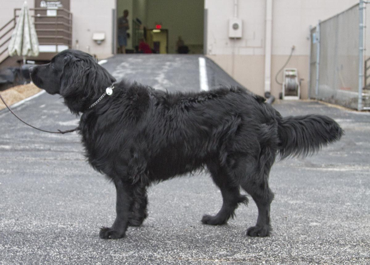 Deutscher Schaferhund German Shepherd Dog Long Haired Black My Cinder Girl Looked Like This Beauty In 2020 German Shepherd Dogs Shepherd Dog Dogs