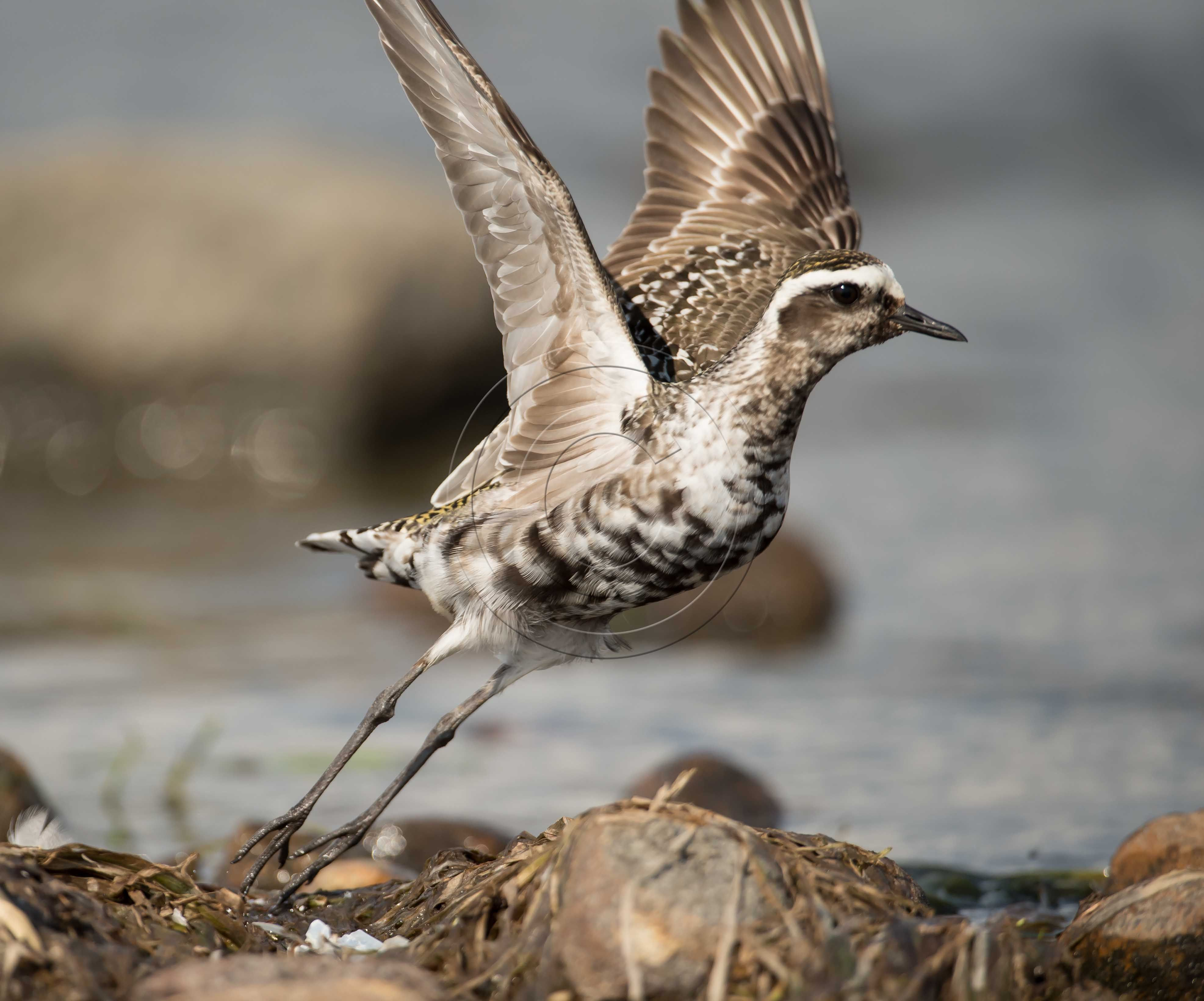 Flying pacific golden plover google search plovers shore birds flying pacific golden plover google search freerunsca Images