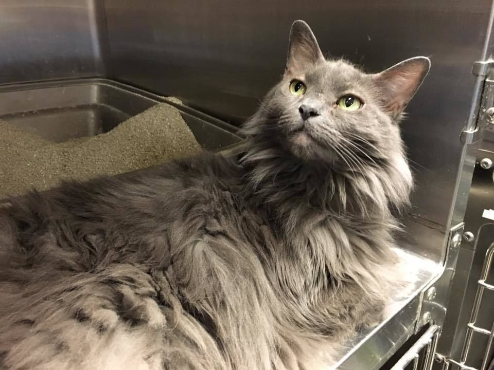 Adopt Haze On Petfinder Nebelung Cat Cat Adoption Cats