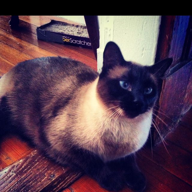 I Love Cats Of All Kinds But Applehead Or Traditional Siamese Are My Favorite I Ve Had Two Siamese 1 Applehead And With Images I Love Cats Siamese Cats Cats And Kittens