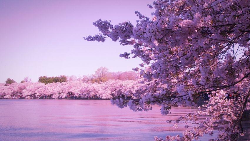 Cherry Blossoms, Jeju Island, South Korea | Jeju island, Jeju ...