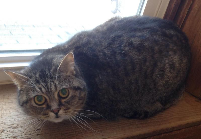 Meet Enigma, a Petfinder adoptable Domestic Short Hair Cat | Greensburg, PA | Petfinder.com is the world's largest database of adoptable pets and pet care information....