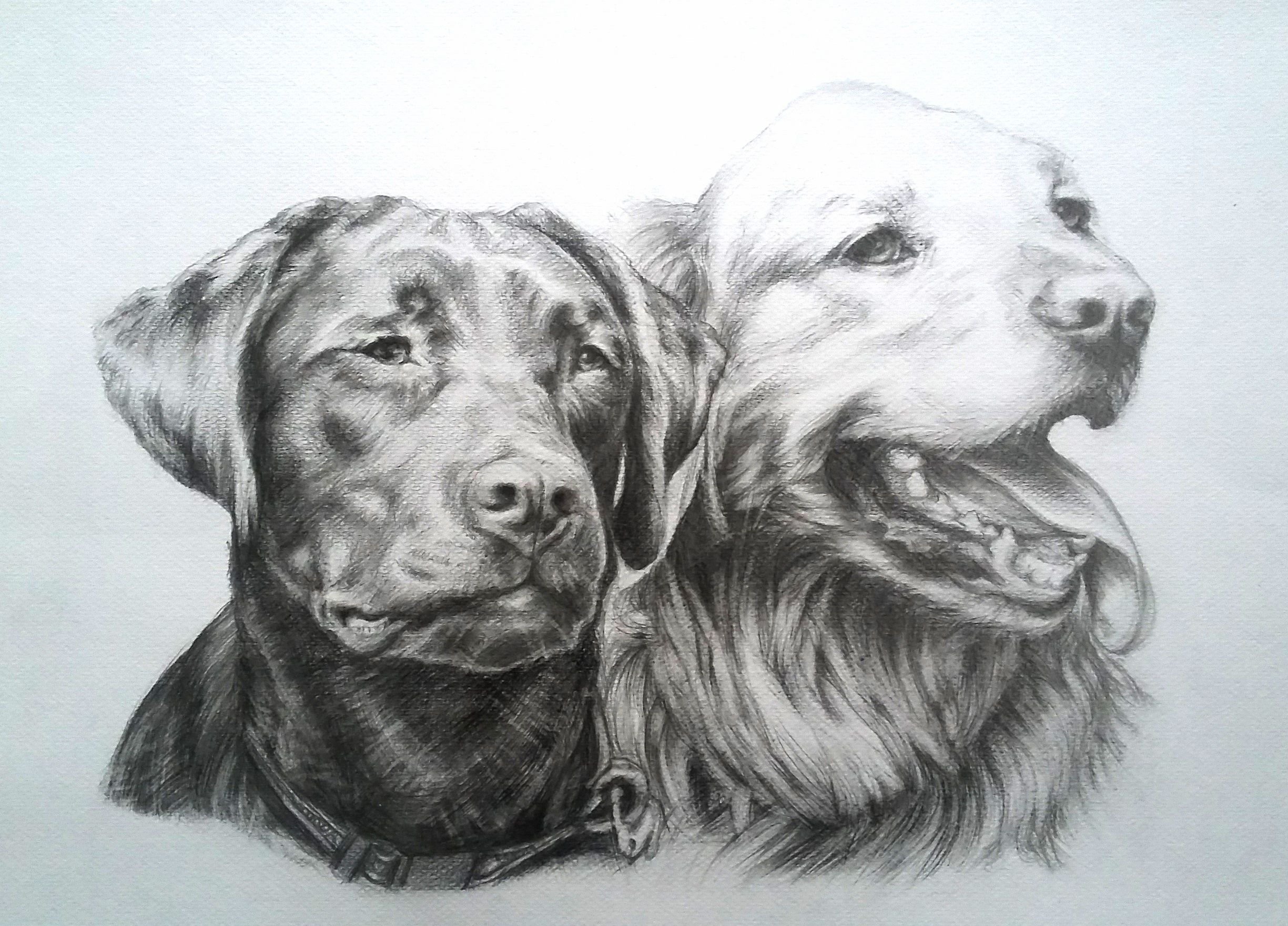 Graphite Drawing Black And White Labradors Drawings Drawings