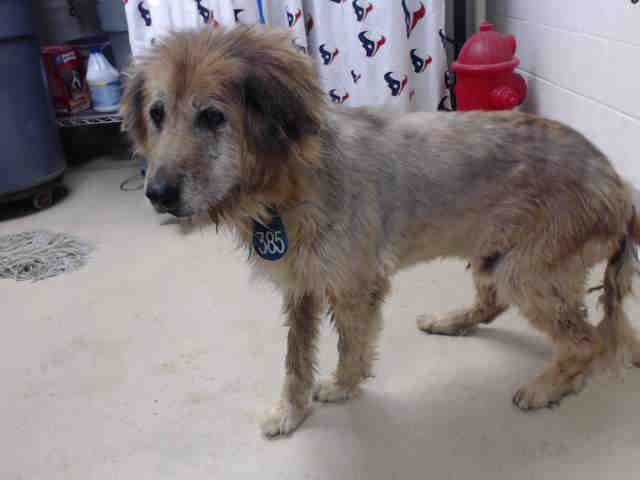 This Dog Id A463463 Located At Harris County Animal Shelter In Houston Texas 7 Year Old Male Golden Retriever Mix At The S With Images Animal Shelter Animals Dogs