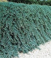 Juniperus Horizontalis Wiltonii Blue Rug Juniper One Of The Finest Trailing Junipers