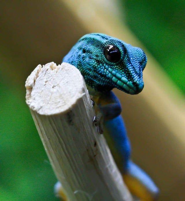 Turquoise Dwarf Gecko - badassanimals in 2020 | Gecko ...