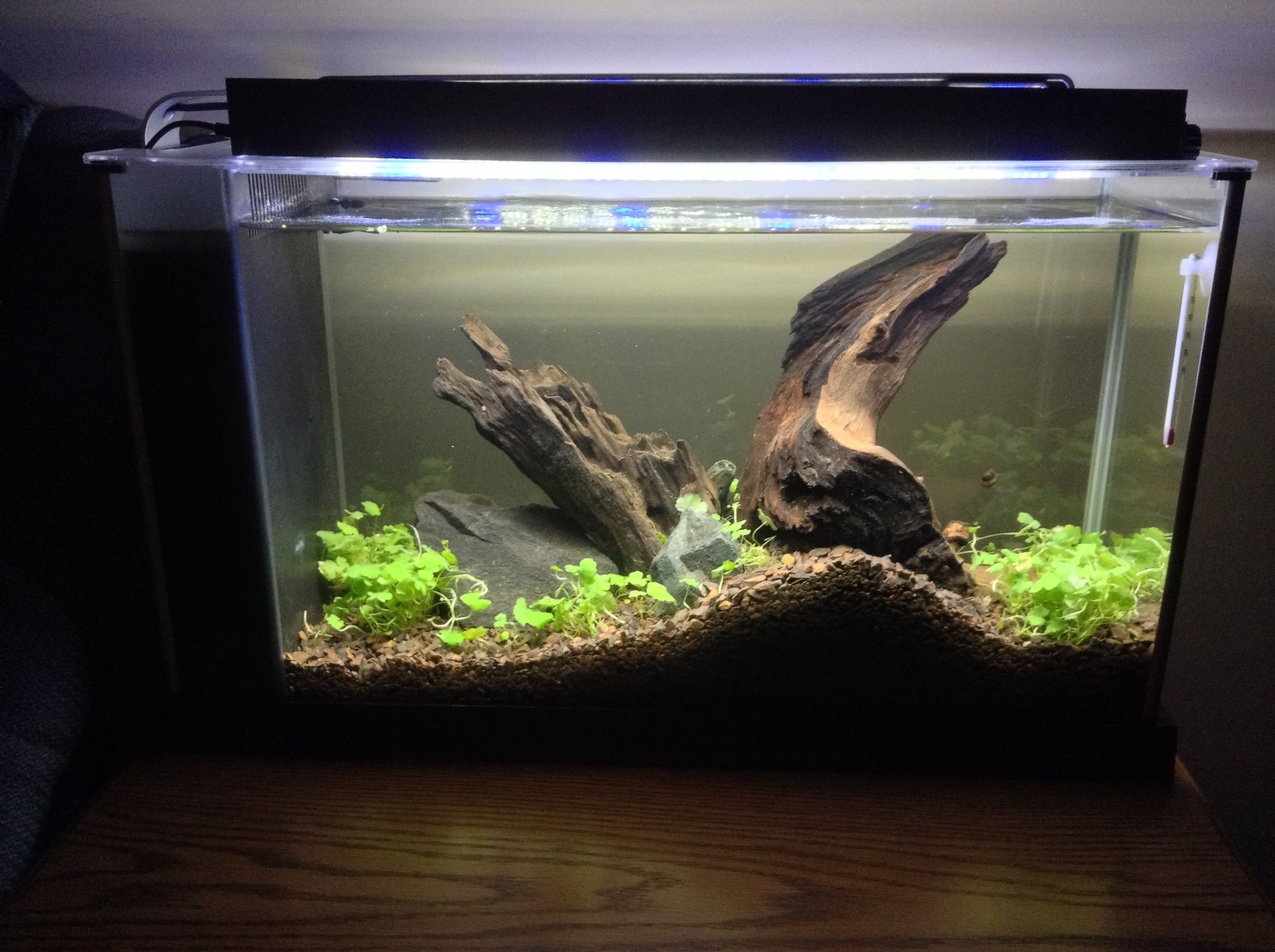 Fluval spec v with hydrocotyle sibthorpioides my own for Fluval fish tank