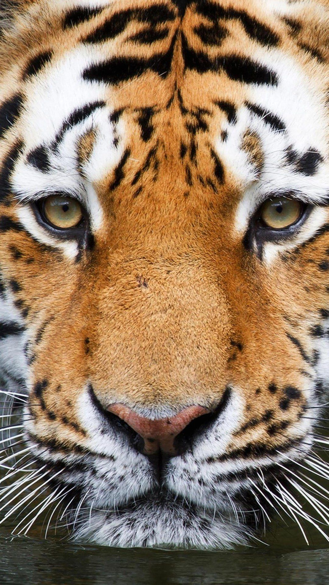 Tiger eyes Best htc one wallpapers, free and easy to