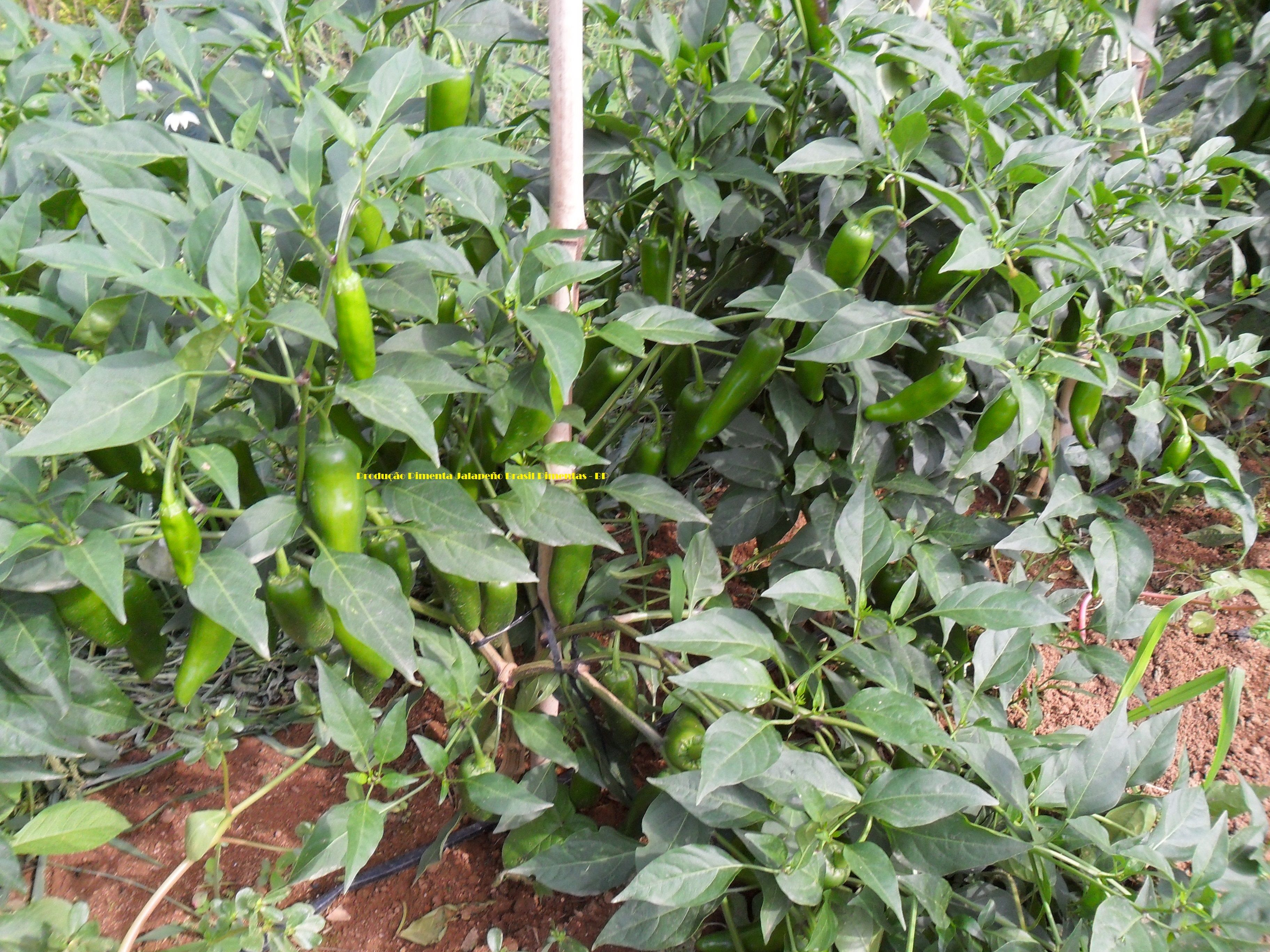 Jalapeno Pepper Plant Production By Brasil Pimentas Com Imagens