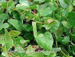 Plantas perennes para vallas rejas enca izados muros y otras superficies jardin colgante - Plantas para vallas ...