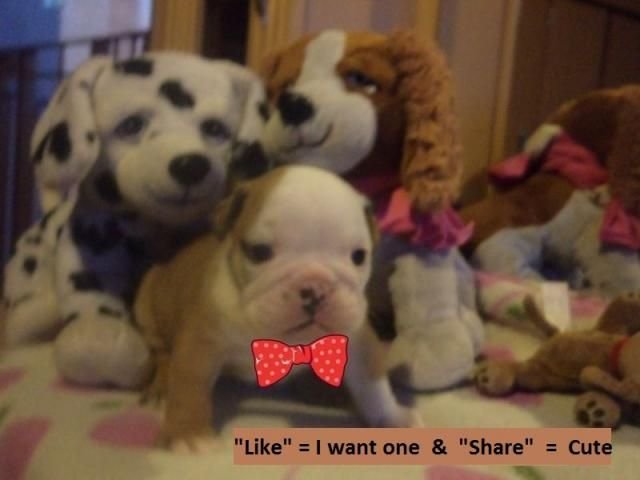 English Bulldog Puppies Pretoria Tshwane Puppies Org Za