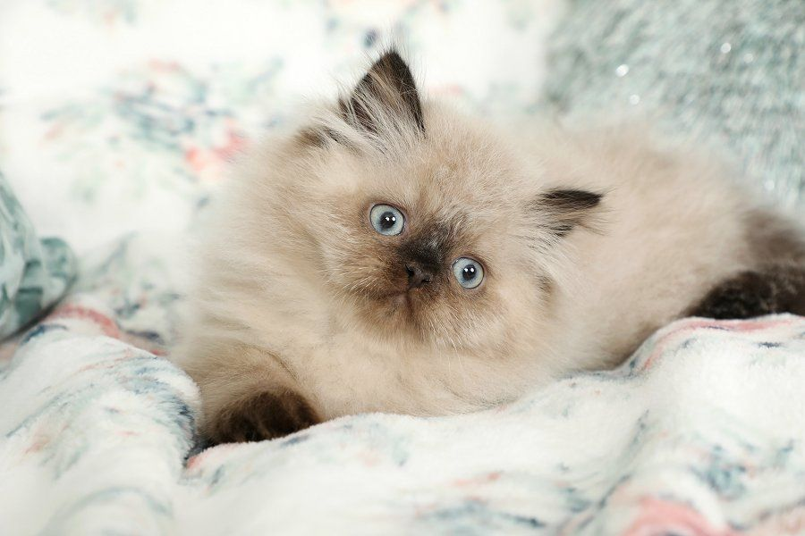 Samson Seal Point Himalayan Kitten For Sale Himalayan Kitten Himalayan Kittens For Sale Himalayan Cat