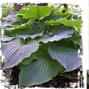 hosta 39 komodo dragon 39 hauteur 30 r pandre 7 pieds pleine mi ombre un hosta g ant qui forme. Black Bedroom Furniture Sets. Home Design Ideas