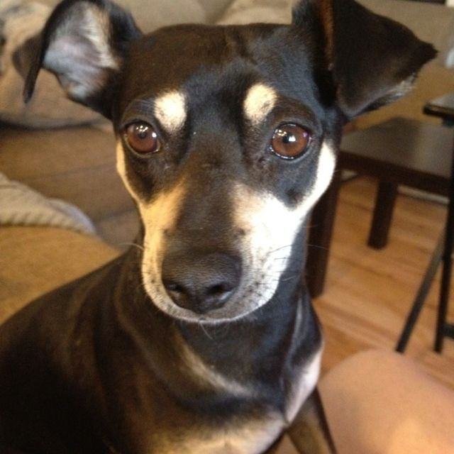 Manchester Terrier Chihuahua mix - meet Molly! | home ...