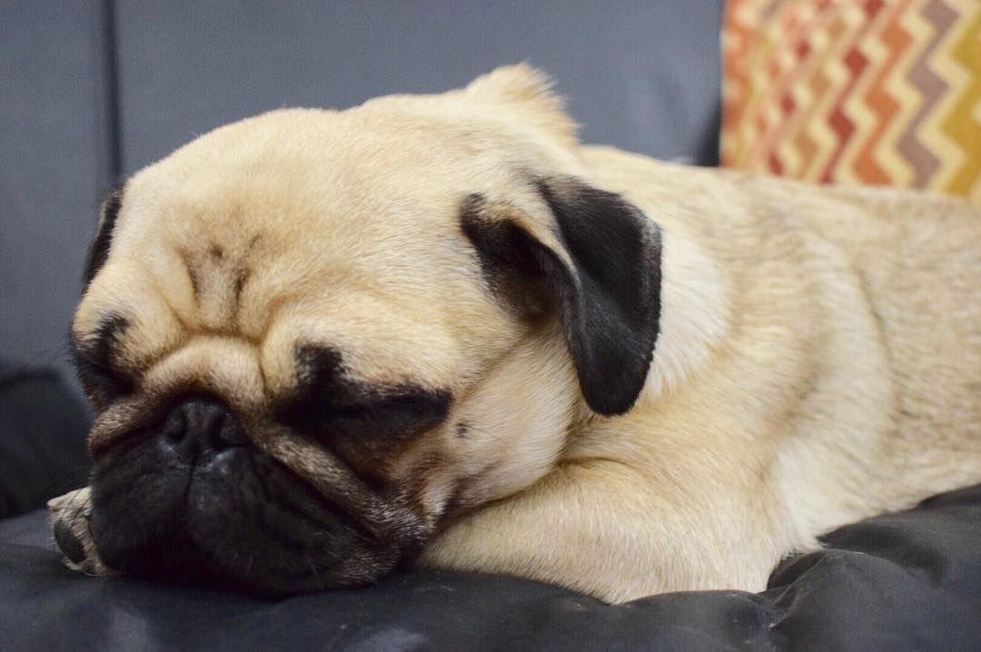 Good Night Everyone Puglife Puppy Puppies Pugoftheday