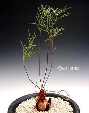 pelargonium leptum pinterest. Black Bedroom Furniture Sets. Home Design Ideas