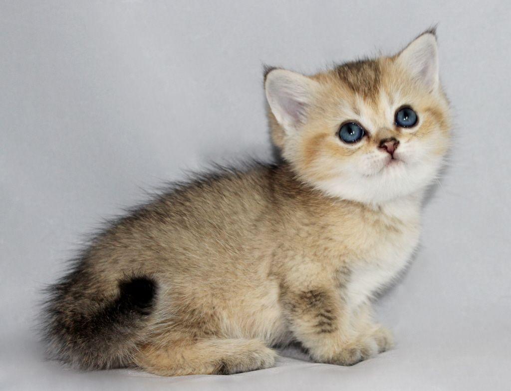 Scottish Folds And British Shorthair Kittens For Sale British Shorthair Kittens Scottish Fold Kittens Scottish Fold