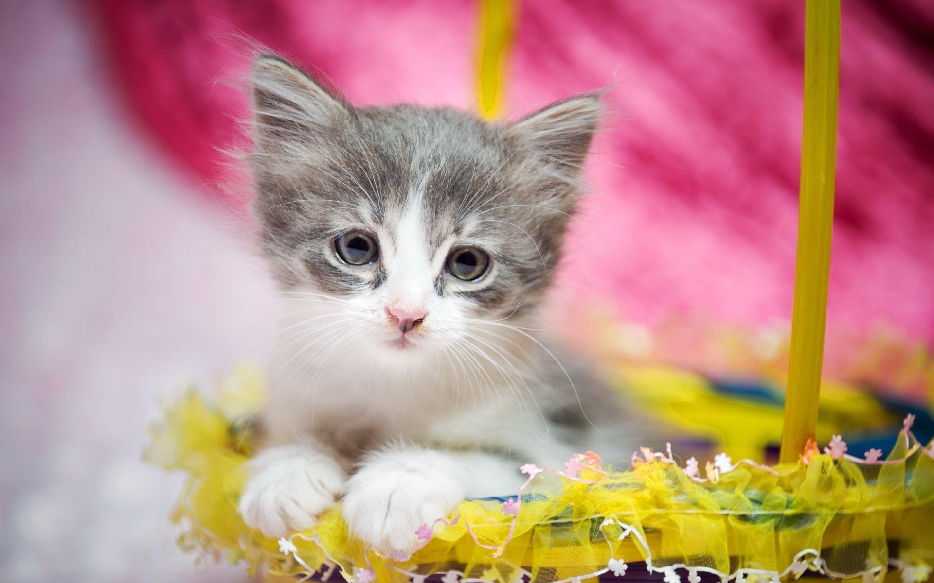 1920x1200 Cute Kitten Desktop Background Hd Wallpaper Kittens