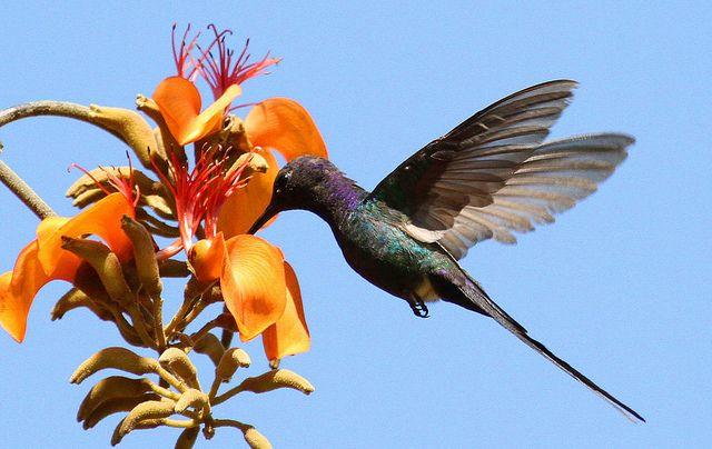 Swallow-tailed Hummingbird (Eupetomena macroura) on Erythrina velutina | Flickr - Photo Sharing!