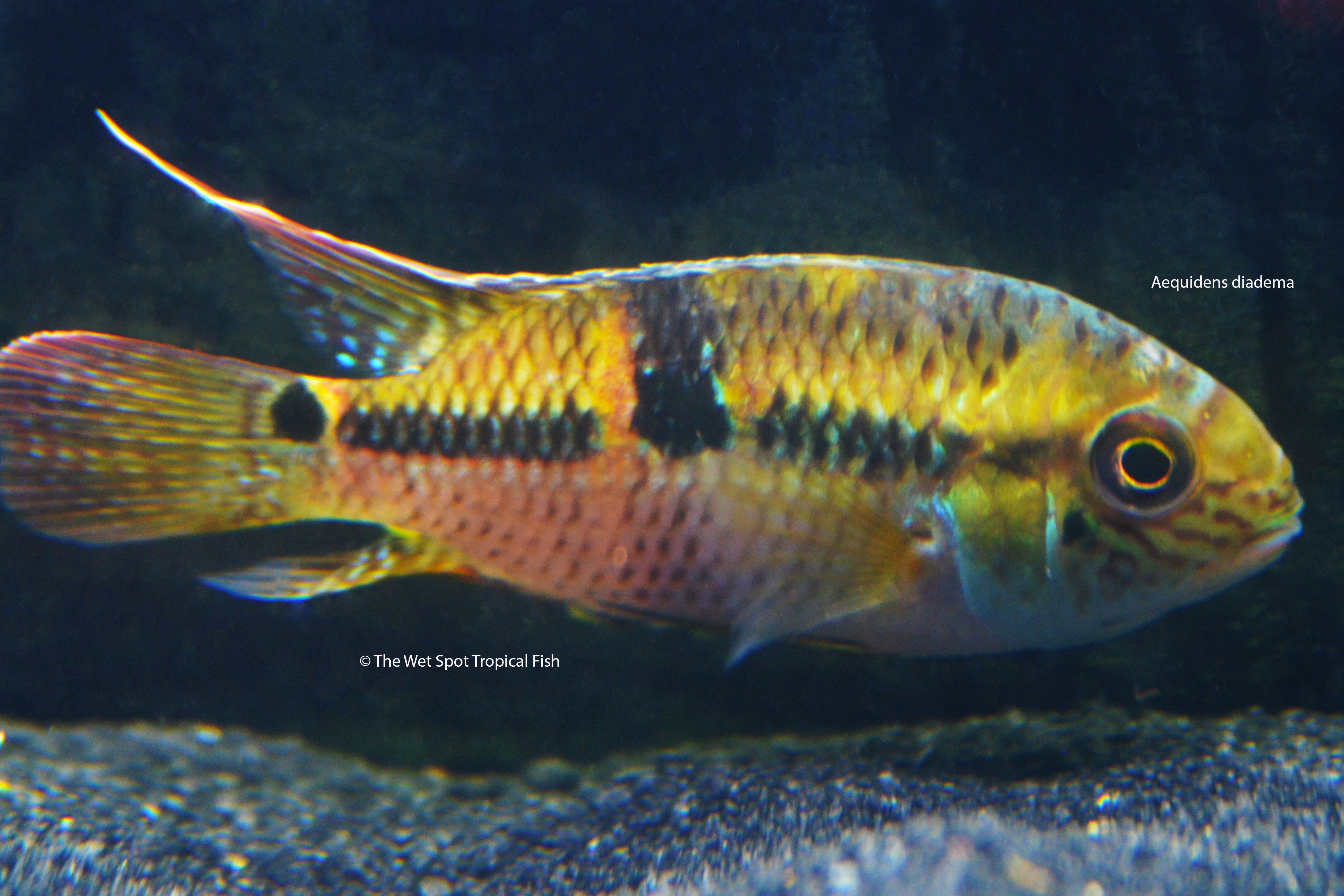 Aequidens Diadema American Cichlid Fish Tropical Fish