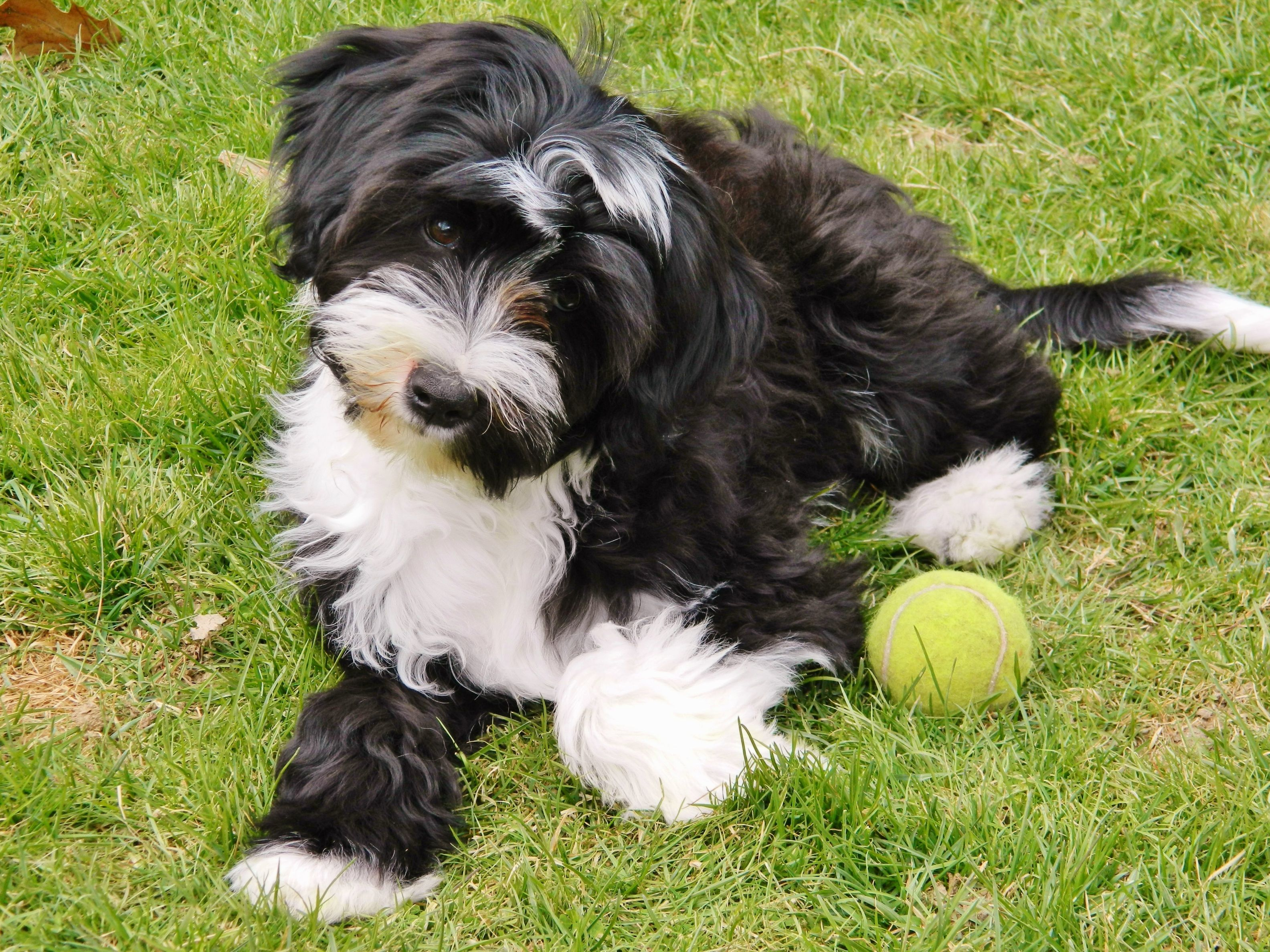 Life With A Kensington Tibetan Terrier Kensington Kennel Terrier Dog Breeds Tibetan Terrier Dog Breeds