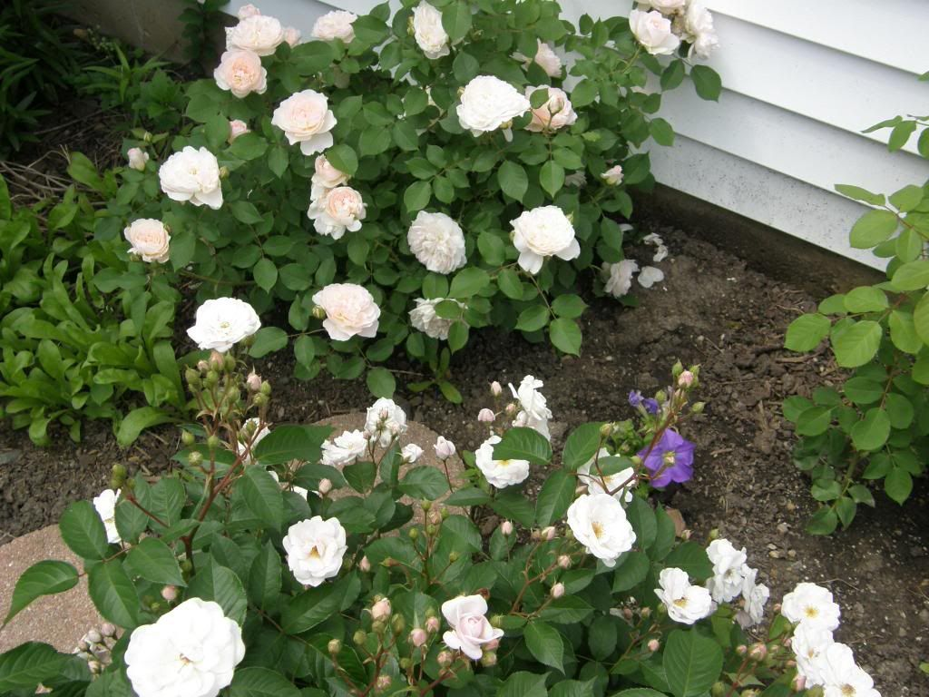 The most addictive scent that I sniffed at the rose parks, plus my