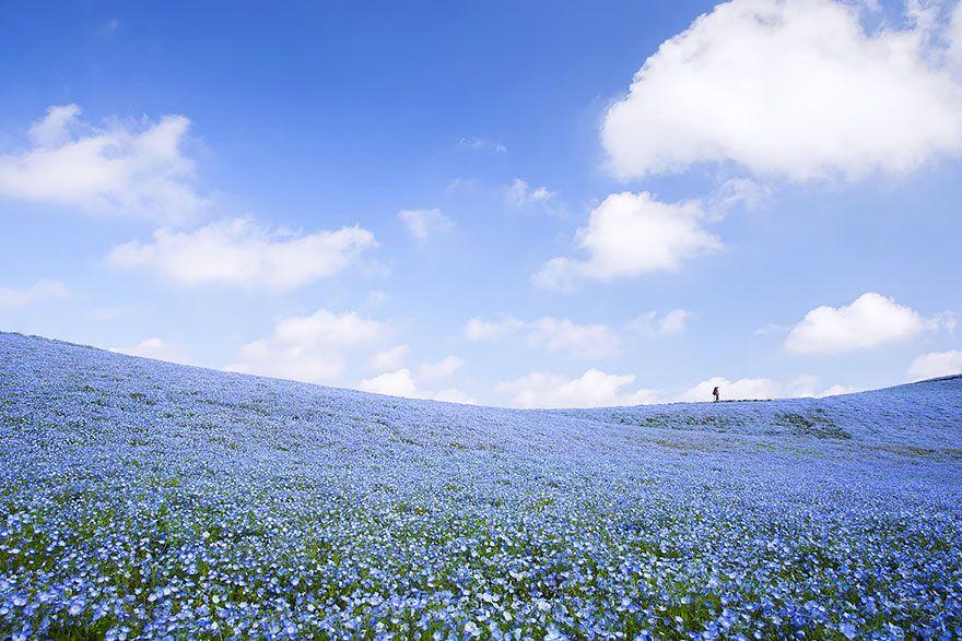 les incroyables champs de fleurs bleues du parc hitachi le tapis la nature pinterest. Black Bedroom Furniture Sets. Home Design Ideas