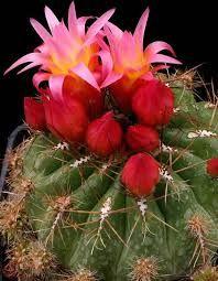 кактуси снимки - Google Търсене