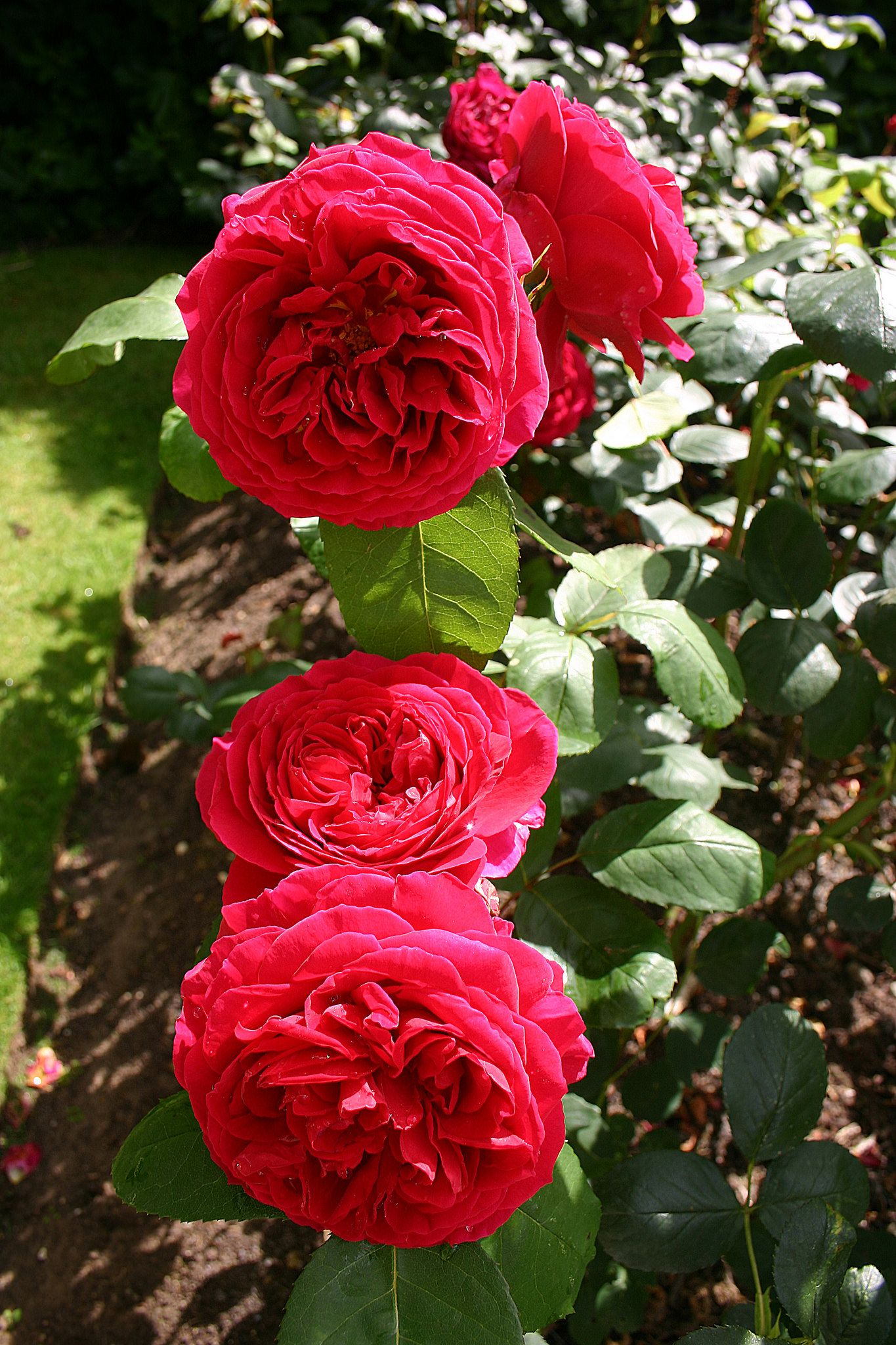 'Heathcliff' | Shrub. English Rose Collection. David C. H. Austin, 2012 | Flickr - © Angelina Moser