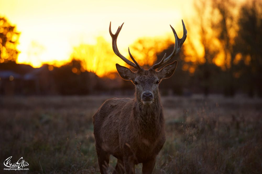 Early Morning Stag Shot by Max Ellis on 500px