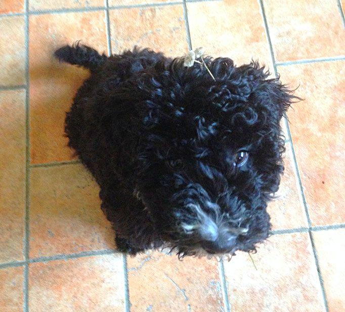 Unsere Hundin Perro Nord Spanische Wasserhund Welpen Spanischer Wasserhund Welpen Spanisch