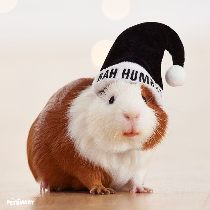 Pin On Guinea Pig Holiday