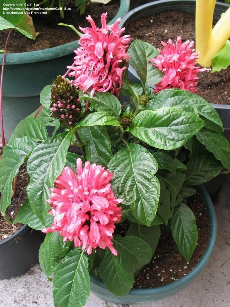 View Picture Of Brazilian Plume Flamingo Flower Jacobinia Pine Bur Begonia Justicia Carnea At Dave S Garden All Flamingo Flower Planting Flowers Plants