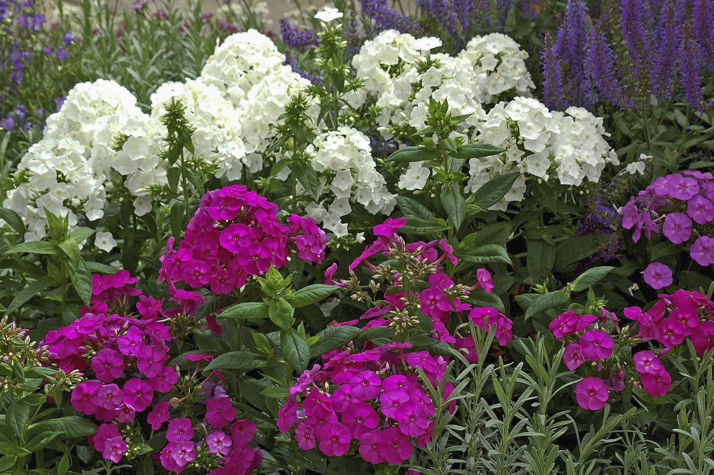 Tall Garden Phlox The White Is Especially Mildew Resistant And
