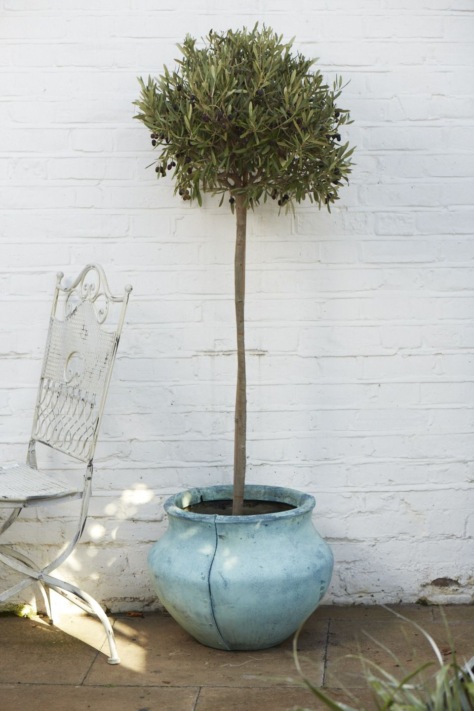 Hardy Standard Olive Tree Mediterranean Ornamental Garden Tree 100cm Tall
