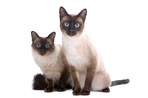 Best Hypoallergenic Cat Balinese Siamese Cats Facts Balinese