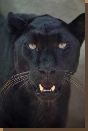 Panther Gesicht