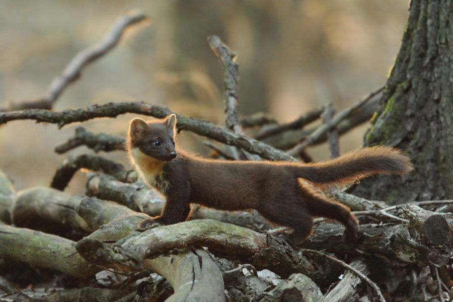 Pretty pine marten by Eike Mross.