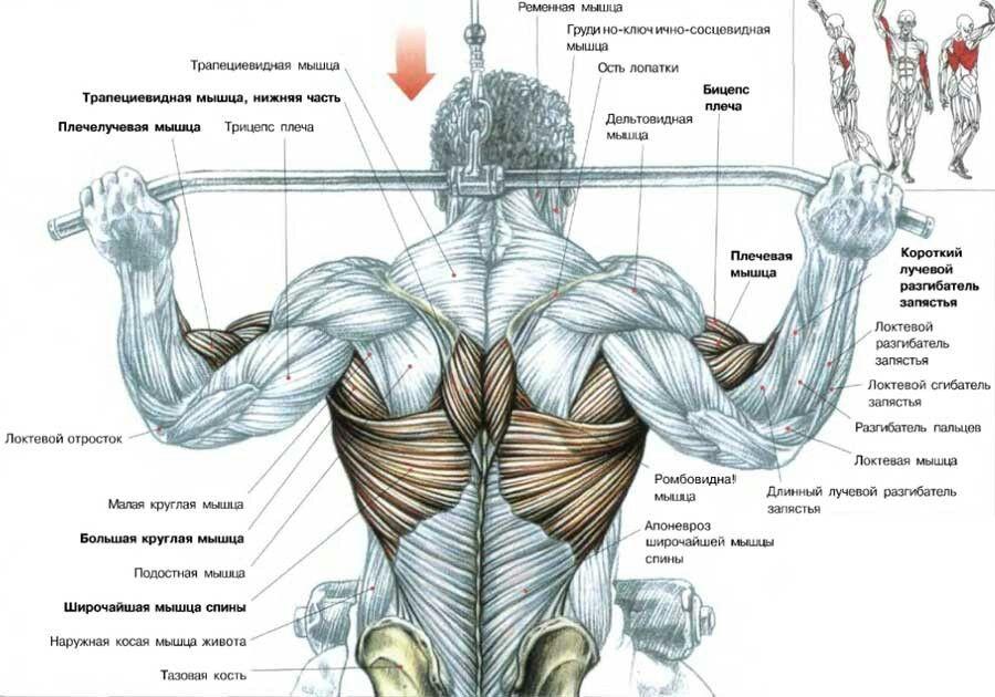 Тяга за голову с верхнего блока Основные мышцы - широчайшая ...