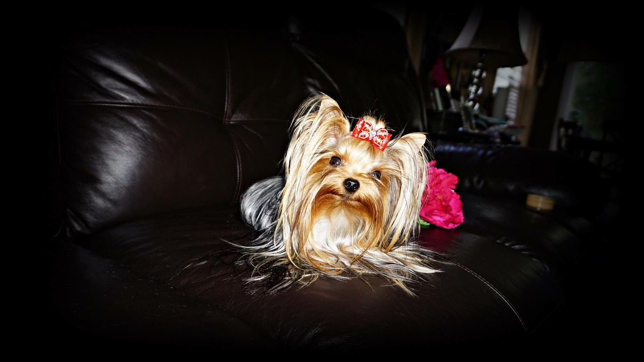 Pin By Priceless Yorkie Puppy On Priceless Yorkie Puppy Yorkie Lover Yorkie Lovers Yorkie Puppy Puppies