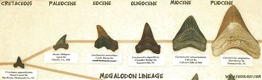 50 Lot MEGALODON SHARK TOOTH FOSSIL GUIDES LITERATURE