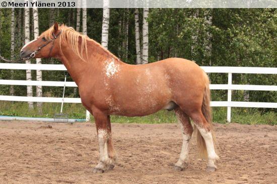 Estonian horse Ankur