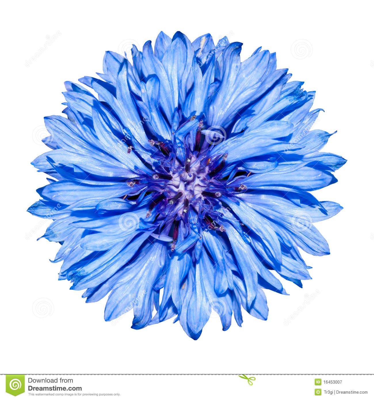 Blue Cornflower Flower Head Centaurea Cyanus Flower Graphic Design Flower Painting Cornflower