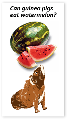 Can guinea pigs eat watermelon?  Yes, but remember fruits are high in sugar so if you feed watermelon just make sure to do so sparingly.