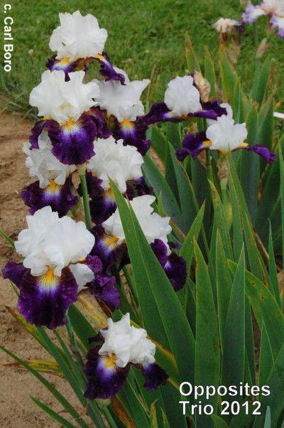Magic Happens Tall Bearded Irises Iris Flowers Growing Irises Bearded Iris