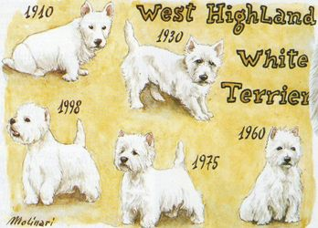 westie evolution 1910-1998  Few people realize that grooming