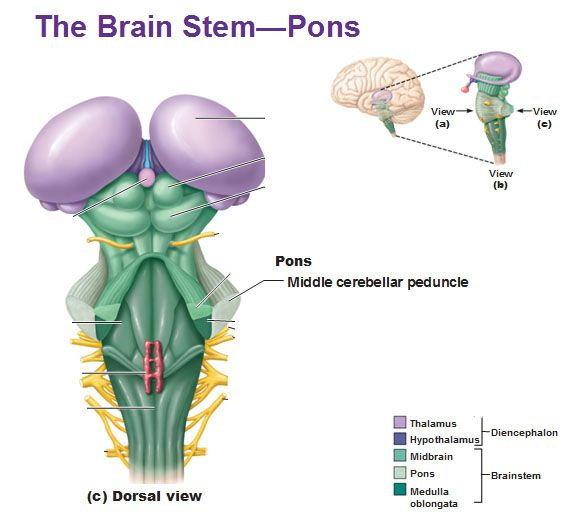 The Brain Stem Pons Dorsal View Middle Cerebellar Peduncle Anatomy