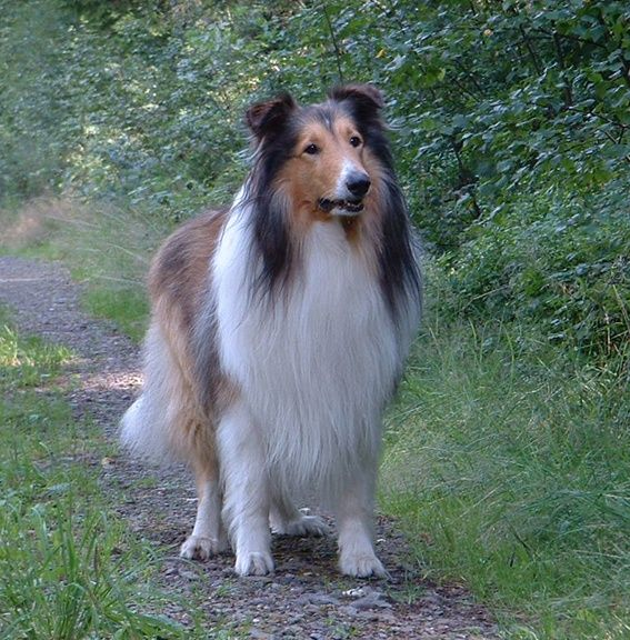 Collies Collies Rough Collie Collie Dog Collie